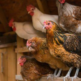 Hühner und geflügel