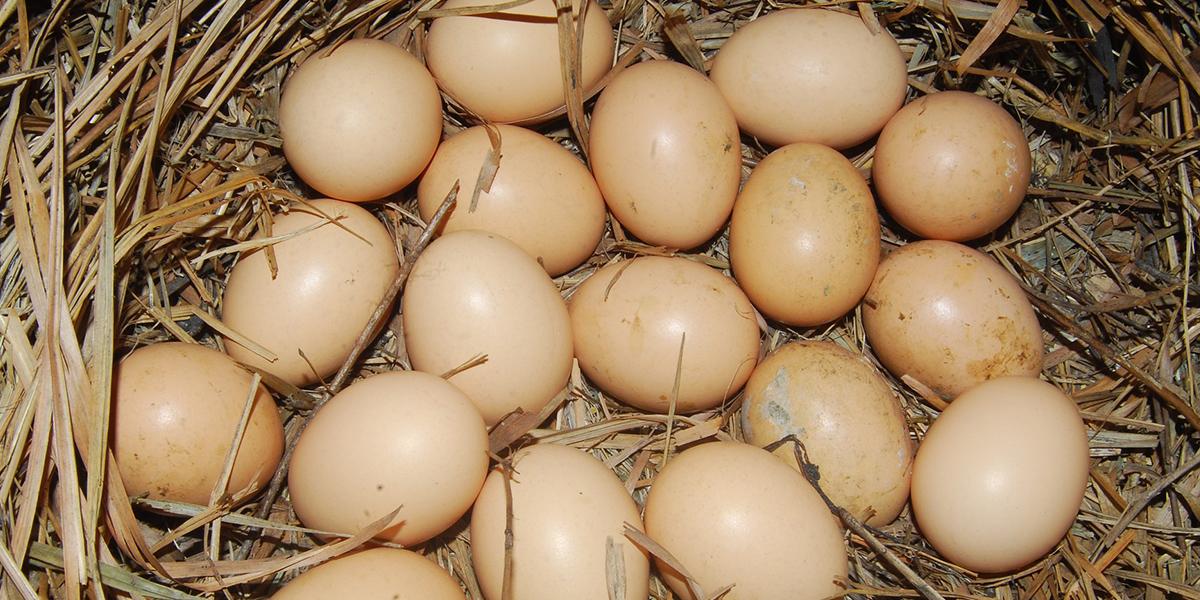 Bei verschmutzten Eiern besteht die Gefahr, dass Krankheiten übertragen werden