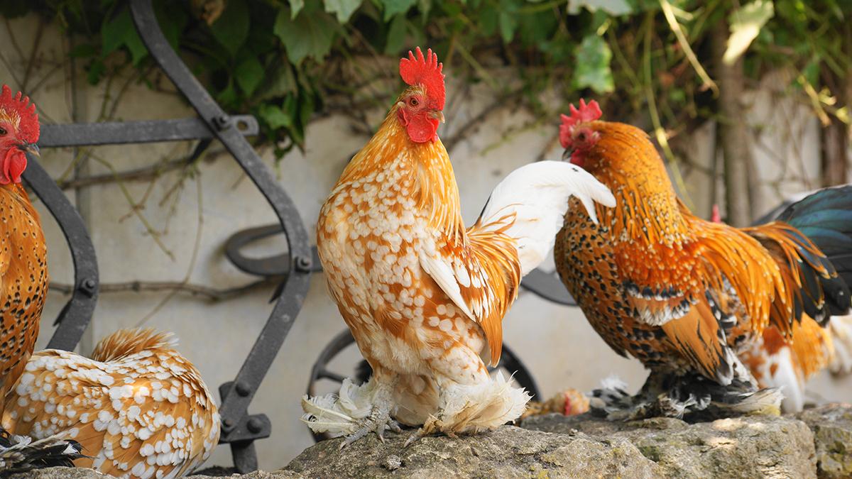 Röhnfried_Blog_2020-11-Vorstellung-Rassehühner-Federfüßige-Zwerghühner