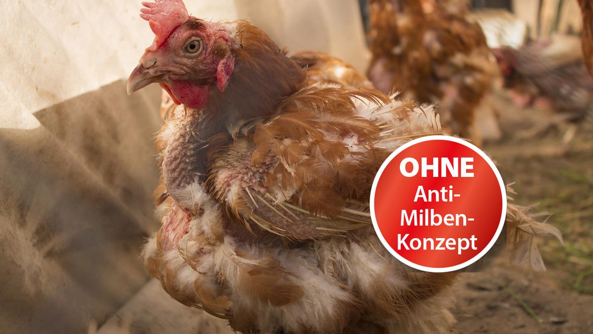Milben-beim-Huhn-bekämpfen