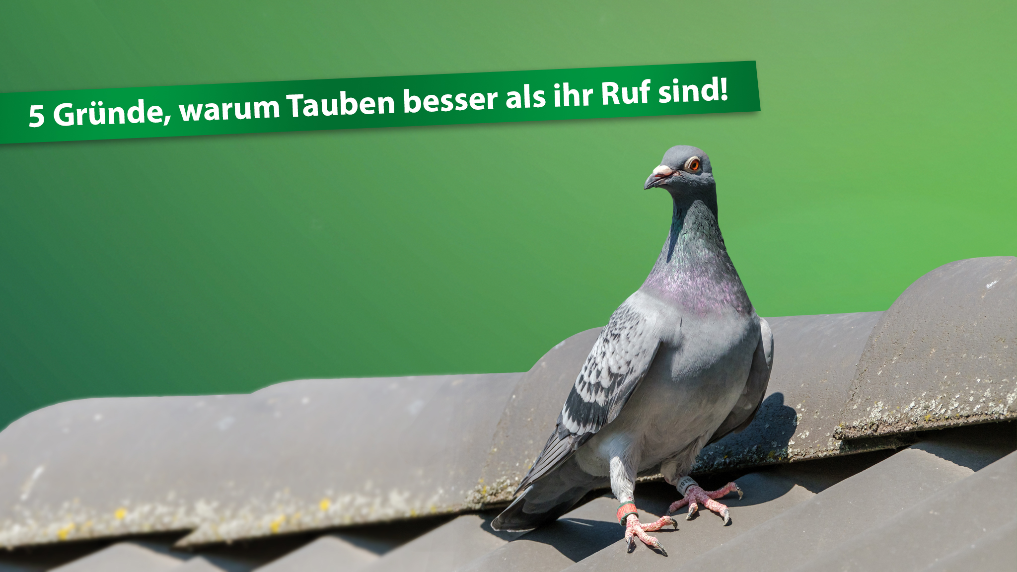 5 Gründe, warum Tauben besser sind als ihr Ruf